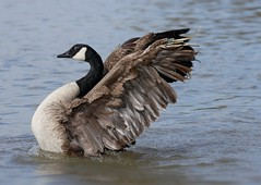 Canada goose (PhotoLoonie) Tags: goose canadagoose waterbird bird wings wildlife nature
