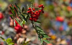 Sorbes (rowans) (Larch) Tags: sorbe sorbier tree arbre couleur color bokeh automne fall autumn sorbierdesoiseleurs fruit rowanberry rowantree berry baie mountainash éclatant bright