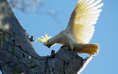 Sulphur Crested Cockatoo (jojoe_au) Tags: australia enviroment landscape logancity nature queensland spring tourism wildlife colours wetlands berrinba au sulphurcrestedcockatoo birds feathers flight tree