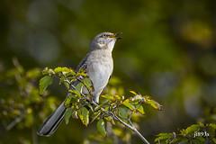 Northern Mockingbird (jt893x) Tags: 150600mm bird d500 jt893x mimuspolyglottos mockingbird nikon nikond500 northernmockingbird sigma sigma150600mmf563dgoshsms songbird alittlebeauty coth thesunshinegroup coth5 sunrays5 ngc