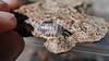 """Armadillidium sp. Croatia """"Pied"""" (Awavi) Tags: isopod armadillidium ダンゴムシ pillbug pied"""