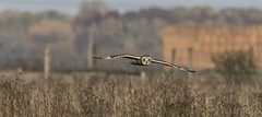 Short Eared Owl-8563 (WendyCoops224) Tags: 100400mml 80d fens canon eos ©wendycooper asio flammeus short eared owl