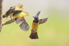 First Flight Lesson (168tos) Tags: nature wild flight fly sunbird bird animal