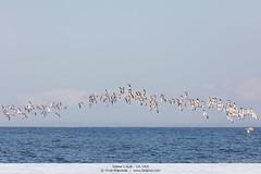 Sabine's Gulls - CA, USA (Vivek Khanzodé (www.birdpixel.com)) Tags: birdfamilies birdfamiliesscientific ca gulls laridae montereybay nature pelagic sabinesgull usa wildlife birds