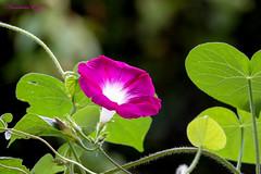 Ipomée ou volubilis Ipomoea purpurea (Ezzo33) Tags: france gironde nouvelleaquitaine bordeaux ezzo33 nammour ezzat sony rx10m3 parc jardin fleur fleurs flower flowers rose pink rouge red ipomée volubilis ipomoeapurpurea mauve