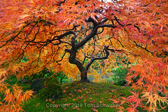 The Canopy (pdxsafariguy) Tags: japanesemaple autumn portlandjapanesegarden portland oregon usa garden maple tree red serene foliage landscape fall leaves orange branches moss trunk twisted rock branch acerpalmatum japanesegarden tomschwabel