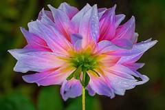 Backside (L@nce) Tags: flower macro stem magenta rain drops micro nikkor nikon victoria canada britishcolumbia bokeh