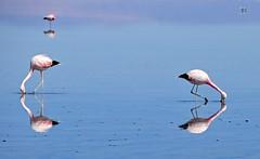 Chile- Salar de Atacama (venturidonatella) Tags: chile cile atacama atacamadesert salardeatacama nikon nikond300 d300 colori colors fenicotteri flamingos uccelli birds riflesso riflessi reflection america americalatina latinamerica animali animals