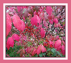 Autumns Burning Bush (bigbrowneyez) Tags: red pink colourful berries bush burningbush onfire gorgeous shrub lovely bright wet droplets beautiful fabulous striking stunning pretty dof mygarden miogiardino redberries birdfood treat nature oct nov display showoff flrty natura bello bellissimo rosso autumnsburningbush symphony frame cornice