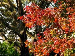Fall Colors. (~~Chuck's~~Photos~~) Tags: chucksphotos canonsx60 autumn trees amish neighbors ourworldinphotosgroup earthwindandfiregroup photosthruyourlensgroup solidarityagainstcancergroup