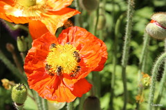 buzzing with bees! (Jeannine DW) Tags: tcof2018 flowers poppies poppy bees nature orange petals icelandpoppy