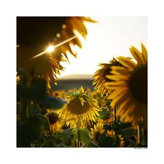 (david Ramalleira) Tags: davidramalleira davidramalleiraphotography nikon nature naturaleza natureart naturephotography naturesfinest naturesart natura sunflower sunflowers girasol girasoles summer
