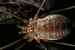 Opilio canestrinii (Huetzi) Tags: daddy longleg opiliones weberknecht spinne arachnida long leg spider venom chericerata cherlizeres insect animal amazing opilio canestrinii