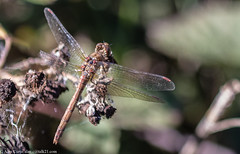 0T4A9831 (2) (Alinbidford) Tags: alancurtis brandonmarsh dragonfly nature wildlife