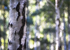Silver Birch Bokeh (Fourteenfoottiger) Tags: meyergorlitztrioplan28100mm trioplan28100mm silverbirch silver bokeh bubbles bubblebokeh woods woodland backlit sunlight sunshine textures bark trees treetrunk leaves nature plants countryside