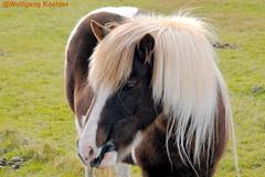 Iceland horse (elbigote1946) Tags: horse iceland sturdy pretty animal