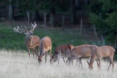 Rotwild [Explored 2018-10-03] (Tierfotografie Niklas Mattern) Tags: wildpark neuhaus canon eos 1dxmarkii ef 400l28isii rotwild rothirsch red deer