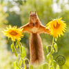 red squirrel in an split between sunflowers (Geert Weggen) Tags: animal autumn bright bud cheerful closeup cute flower foodanddrink horizontal humor land lightnaturalphenomenon mammal moss mushroom nature perennial photography plant red rodent springtime squirrel summer sweden tasting toadstool fun fight fall couple attack young sunflower split reach bispgården jämtland geert weggen ragunda hardeko