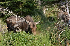 Teaton 0194 (mart.panzer) Tags: teaton yellowstone us usa nationalpark nature scenic top highlights attractions must see awesome best bestof landscape elk bison teton grandteton bear