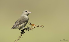 Pale billed flowerpecker (arunprasad.shots) Tags: perch branch bokeh flowerpecker palebilled nikon prime ngc explore