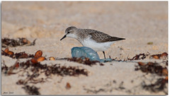 Red-necked Stint (Bear Dale) Tags: rednecked stint seaweed bluebottles sand flats little bird feeding beautiful nikond850 ulladulla southcoast new south wales shoalhaven australia beardale lakeconjola fotoworx milton nsw nikon d850 photography framed nature shore shorebird nikkor afs 200500mm f56e ed vr teleconverter tc14e iii