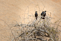 Three in a Bush _3987-2 (hkoons) Tags: southernafrica welwitschiaplainspark volcanicrock africa african damara namib namibdesert namibia spitzkoppe tree animal animals aviary beast bird birds desert feathers flight fowl growth hills landscape outdoors plants rocks stone vegetation winged