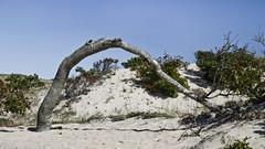 Tree Bend (brucetopher) Tags: dune beach dunes sand hike outdoor hiking travel outside duneshack trail nature provincetown seashore shore coast coastline grass flora sky landscape new england treemendous tmt