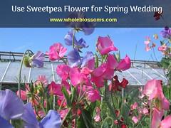 Sweet pea flower (2) (wholeblossoms1234) Tags: sweetpeaflower sweetpeacolors sweetpeabouquets pinksweetpeas whitesweetpea