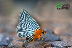 The Green-streaked Awlet - ผีเสื้อหน้าเข็มปีกมนขีดมรกต (Antonio Giudici Butterfly Trips) Tags: chiangdao chiangmai