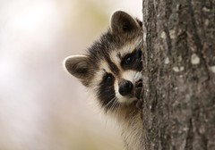 Cute little raccoon (Guy Lichter Photography - 4.2M views Thank you) Tags: juvenile raccoon rodents rodent animals animal wildlife rmnp manitoba canada 5d3 canon