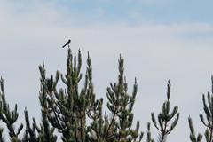 IMG_9625 (armadil) Tags: prairie ranchocorraldetierra bird birds jay scrubjay jays