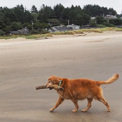 Happiest dog on the beach (jkerssen) Tags: oregon oregoncoast manzanita