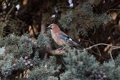 a Jay (morning light) (Franck Zumella) Tags: jay geai bird oiseau blue bleu tree arbre nature wildlife animal forest foret autumun fall automne branch branche