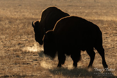 December 9, 2018 - Bison breath at sunrise. (Tony's Takes)