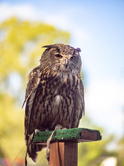 Watcher (Greg Jarman) Tags: omd em1 micro four thirds michigan rennaissance festival ren fest 75mm 13 c mount navitron cctv lens adapted bird nature animal owl
