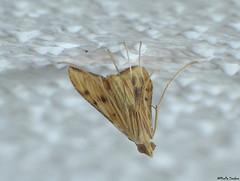 Sesame Leafroller Moth? (Geminiature Nature+Landscape Photography Mallorca) Tags: onderkant underneath abajo antigastracatalaunalis moth motje mot polilla mallorca lepidoptera macro raynox raynox250 dcr dcr250 crambidae leafrollers bladrollers sesameleafrollermoth orange oranje naranja