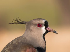 Tero común (Jose Lozada Naturaleza (Argentina)) Tags: tero comun cordoba argentina aves birds latinoamerica america avesamericanas bestbirds