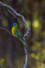 Turquoise parrot (crispiks) Tags: birdlife bartleys block chiltern mount pilot national park nikon d500 200200 f56