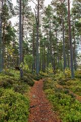 Erect (Geoff France) Tags: landscape scottishlandscape wood forest trees pinetrees ferns bracken cairngorms national park