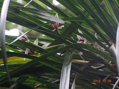DSC01639鳳蘭