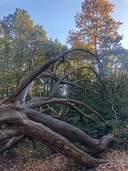 Enteroctopus (marc.barrot) Tags: enteroctopus park uk nw3 london heath hampstead tree fallen