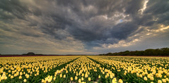 Yellow tulips trying to cheer up the grumpy clouds. (Alex-de-Haas) Tags: 11mm adobe blackstone d850 dutch hdr holland irix irix11mm irixblackstone lightroom nederland nederlands netherlands nikon nikond850 noordholland photomatix photomatixpro beautiful beauty bloem bloemen bloementeelt bloemenvelden cloud clouds cloudscape drama dramatic floriculture flower flowerfields flowers landscape landschaft landschap lente lucht mooi nature natuur polder skies sky skyscape spectaculair spectacular spring sun sundown sunset tulip tulips tulp tulpen wolk wolken zonsondergang