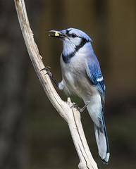 Blue Jay (AllHarts) Tags: bluejay backyardbirds memphistn naturesspirit thesunshinegroup feathersbeaks ourwonderfulandfragileworld nature