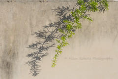 Caught in the Sun (Photography by Ali Roberts) Tags: plant fern shadow wall portugal ©alisonroberts