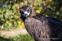 Vale gier (IlonaKrijgsman) Tags: gaiazoo kerkrade dierentuin zoo vale gier vulture