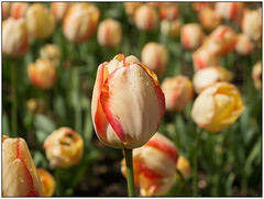 Tulips_1070100 (HJSP82) Tags: burnbyhall garden plant tulip flower floral colourful beautiful