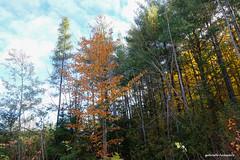 The Edge of the Woods (gabi-h) Tags: woods trees forest fallfoliage talltrees gabih lennoxandaddingtoncounty sky clouds bythehighway autumn october