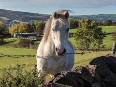 White horse (Maria-H) Tags: white horse fields hills glossop highpeak derbyshire peakdistrict olympus omdem1markii panasonic 1235