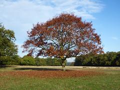 Autumn in the Park (Gilder Kate) Tags: richmond richmondpark royalparks royalpark london richmonduponthames autumn autumncolour panasoniclumixdmctz70 panasoniclumix panasonic lumix dmctz70 tz70 oaktree tree oak