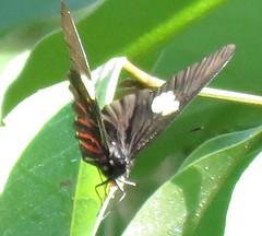 Archonias brassolis (Birdernaturalist) Tags: bolivia butterfly lepidoptera pieridae richhoyer